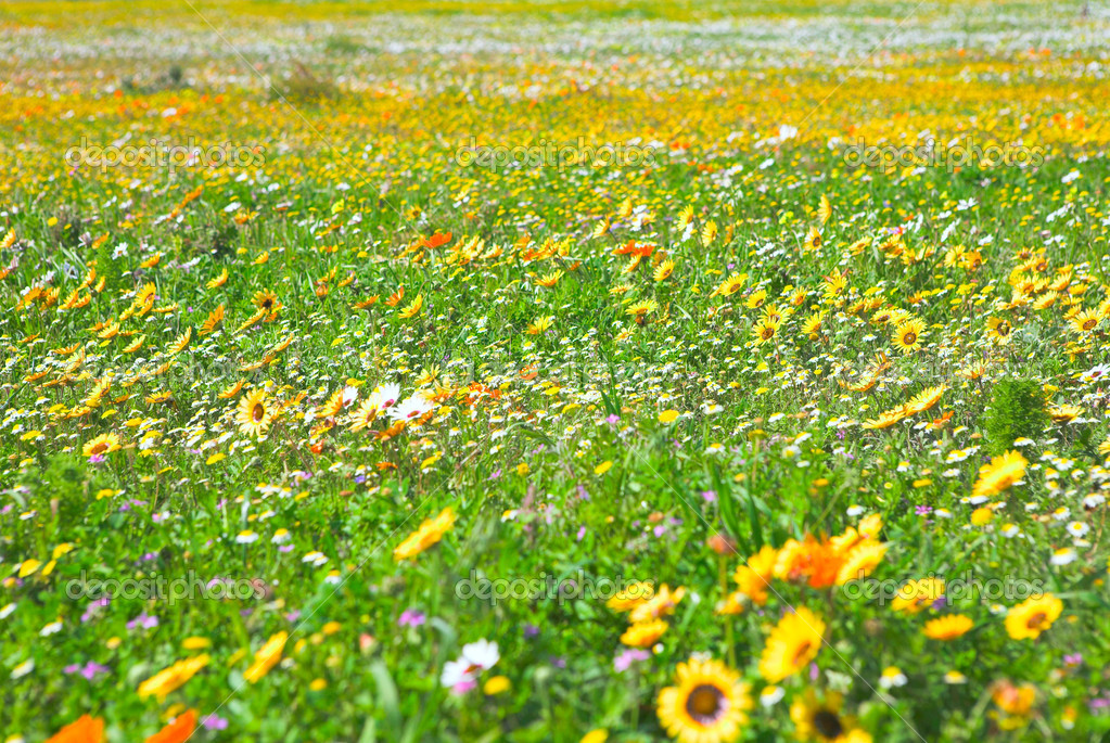 Bright spring wild flowers field in West Coast National Park, South Africa